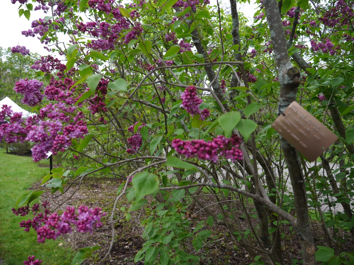 Lilacsunday3